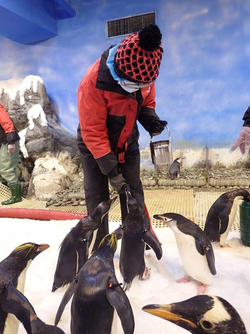 ▲為保護企鵝生態,活動將限制特定月份及每日最多