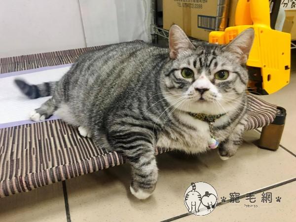 ▲「胖芙」是一隻相當討喜的貓咪(圖/網友雯子雯子授權提供)