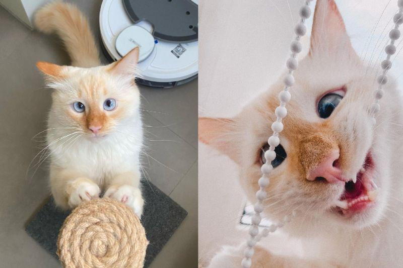 貓貓天生擁有「萌萌鬥雞眼」,一舉一動都像憨呆卡通人物!(圖/Instagram@meow.tilopa)