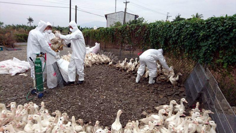 屏東縣鴨場監測採樣 檢出2場肉鴨感染高病原性禽流感