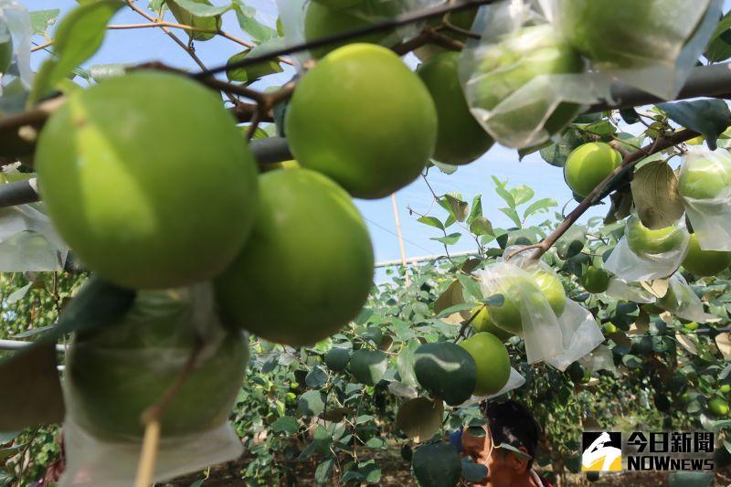 ▲表皮青綠的棗子,是冬季的當令果物,更是年節待客的經典水果。(圖/記者陳雅芳攝,2021.01.03)