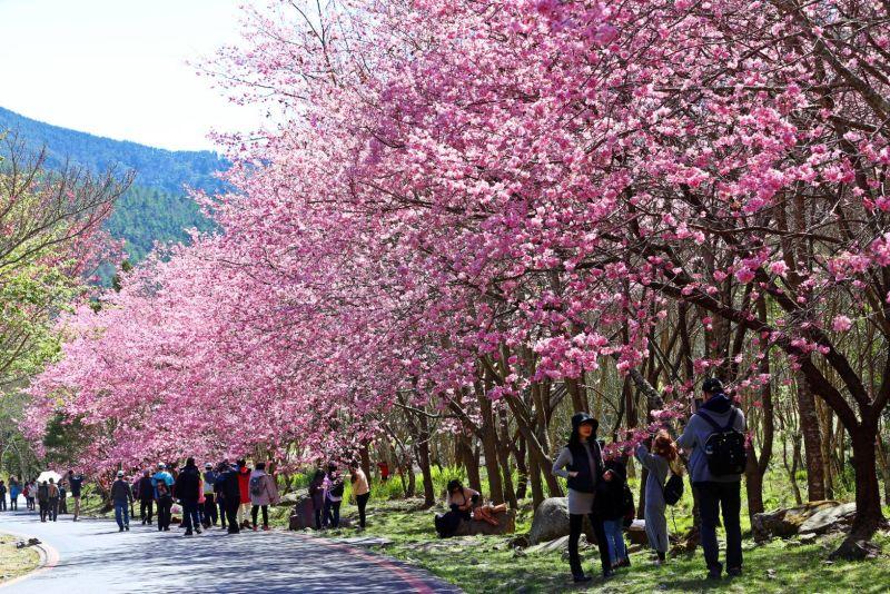 ▲武陵農場櫻花季即將登場,每日進場人數上限為