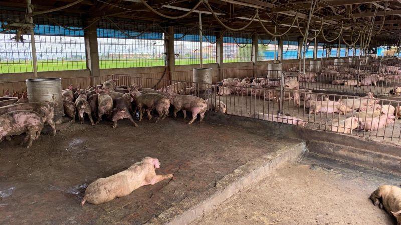 ▲受農曆年節將近影響,近期毛豬價格略為上揚。(圖/NOWnews資料照)
