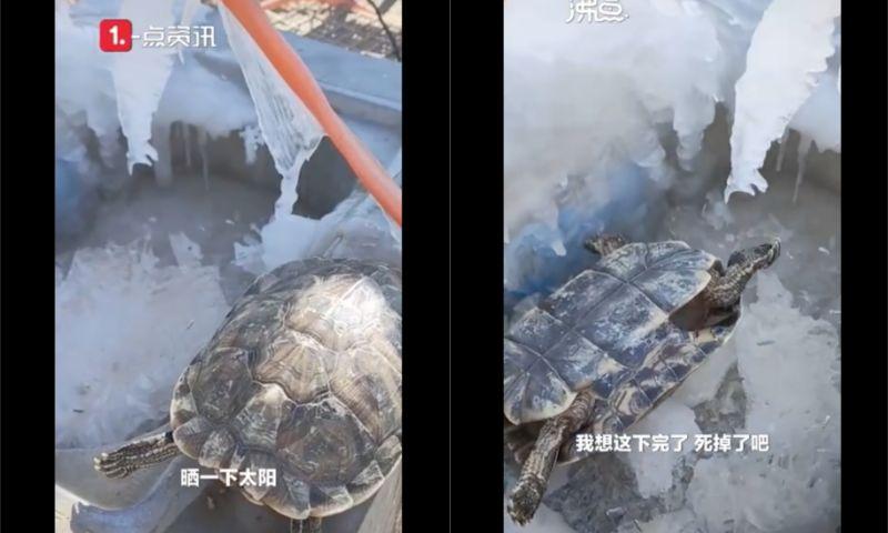 ▲寵物龜被主人忘在外頭,隔天竟凍暈了。(圖/翻攝自《沸點視頻》)