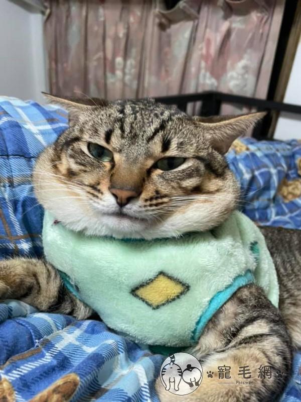 ▲這天巧虎窩在男友蓋子毯子的腿上休息,兩人赫然發現牠肥厚的嘴邊肉溢出來了!(圖/網友鄭宛萱授權提供)