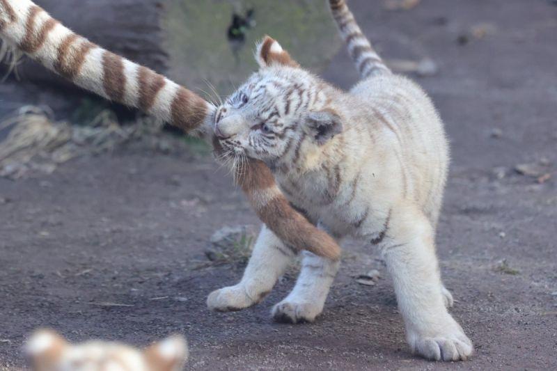 小白虎偷咬「逗貓棒」 媽回瞪超怒:小屁孩欠打逆?