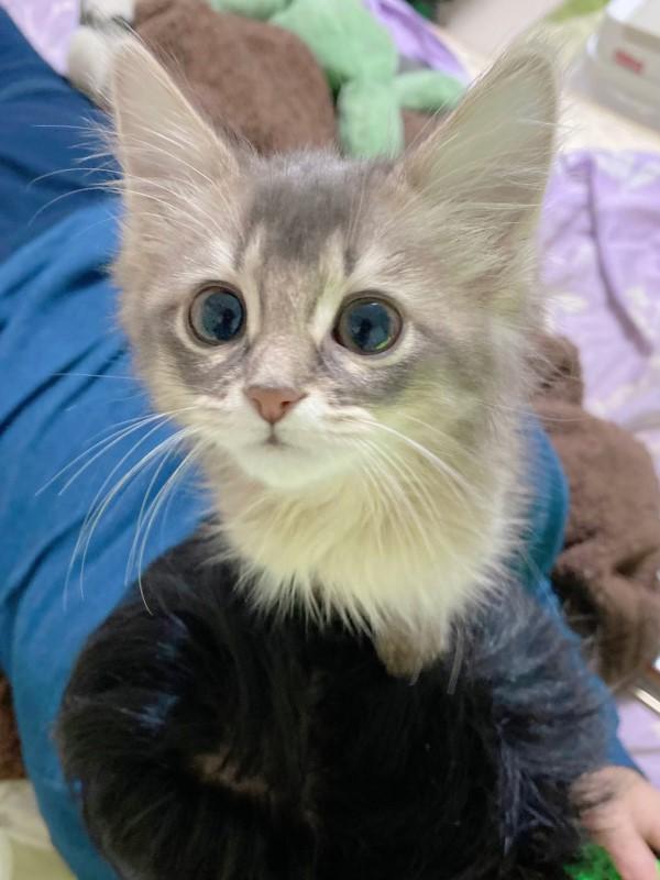 ▲日本一名推主一年前飼養了一隻可愛的小萌貓「れおる」(圖/twitter@reorunrun1228)