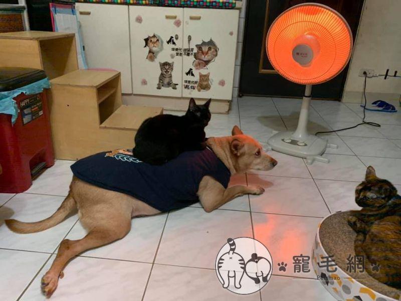 ▲網友家的黑貓特別喜歡坐在大黃狗背上(圖/網友Meng