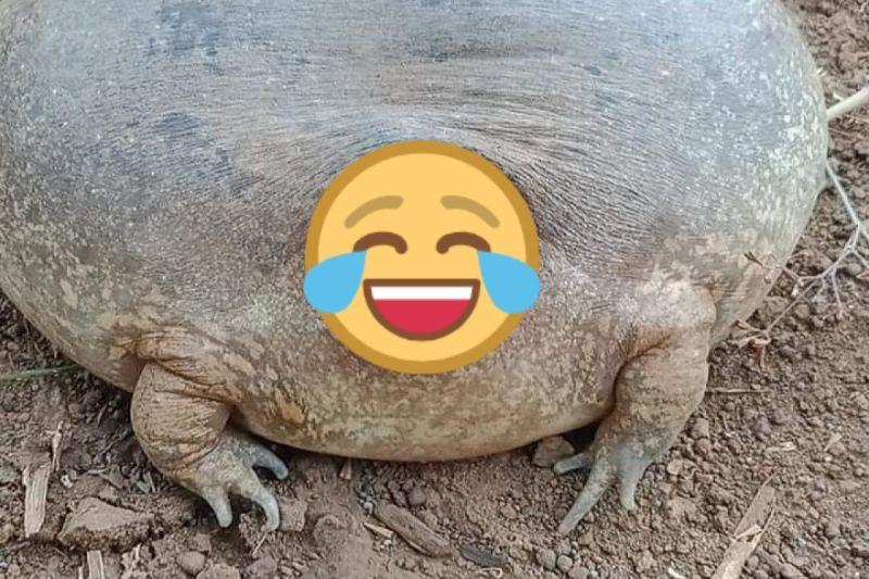 <b>柬埔寨</b>出現「氣球蛙」長相超奇特 網驚:戽斗星球來的?
