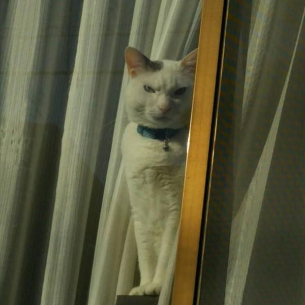 ▲貓咪小時候很可愛長大被拍到一臉殺氣 網笑:罐罐欠太多?
