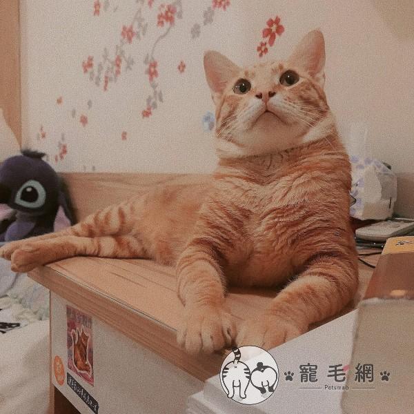 ▲網友余兒飼養了一隻1歲多的橘貓「薯餅」(圖/網友余兒授權提供)