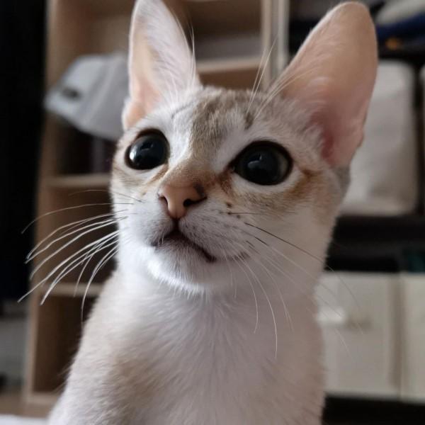 ▲推主@iamcat_lulu飼養了一隻新加坡貓「LuLu」(圖/IG@iamcat.lulu)