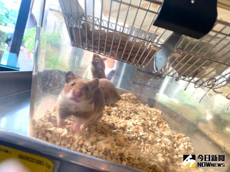 ▲中研院以敘利亞倉鼠進行動物測試,發現能有效減少90%的病毒數量。(圖/記者朱永強攝,2021.01.27)