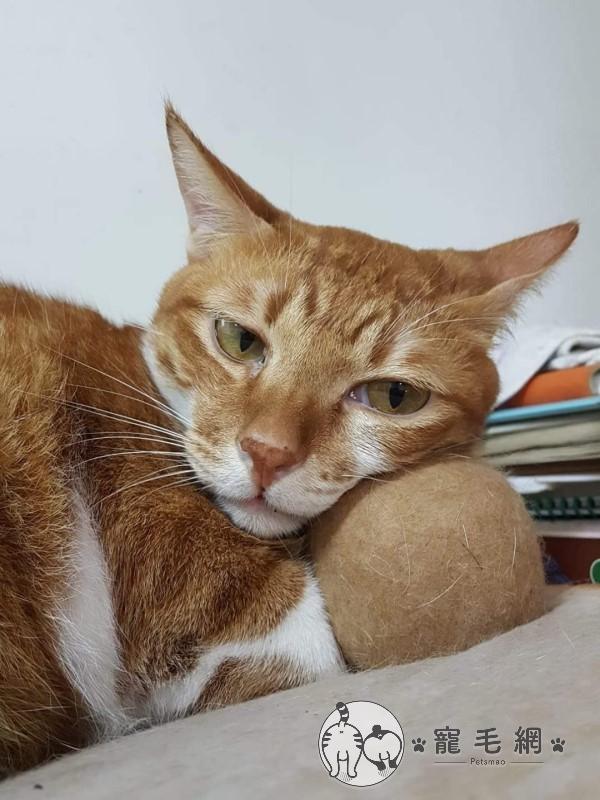 ▲橘的個性很淡定,總是默默地做自己的事,或是躺在自己的「毛球」上耍廢(圖/網友Lee