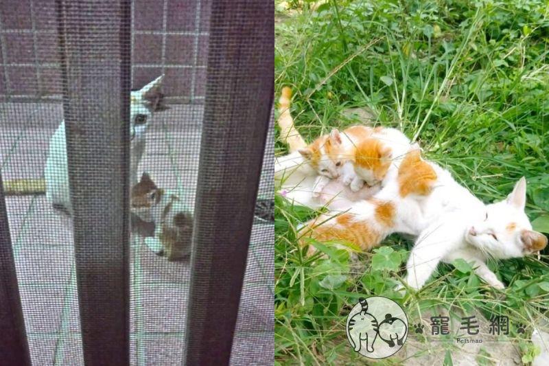 ▲網友黃小姐遇到親人的貓媽媽,叼4隻小貓上門。(圖/IG@咪醬帶小孩mii_chiang授權)