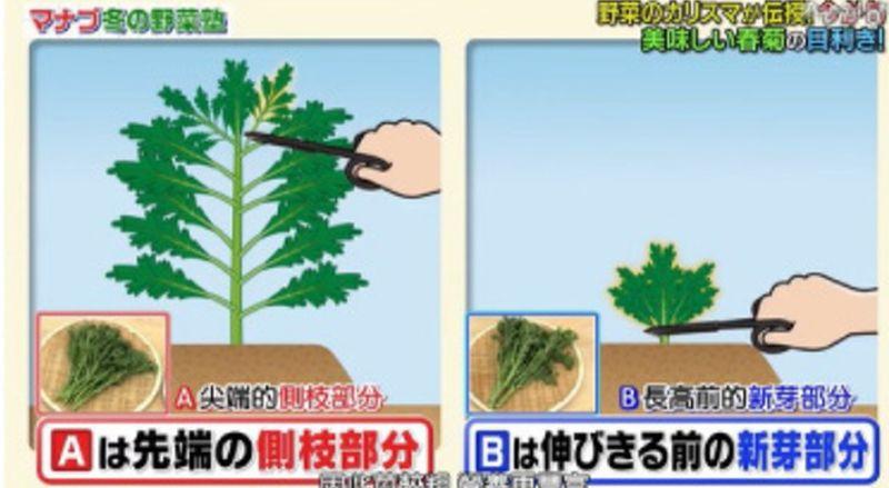 ▲莖部較細的A茼蒿是由尖端剪下,而莖部較粗的B茼蒿則是新芽時期整株剪下。(圖/翻攝自《相葉マナブ》節目截圖)