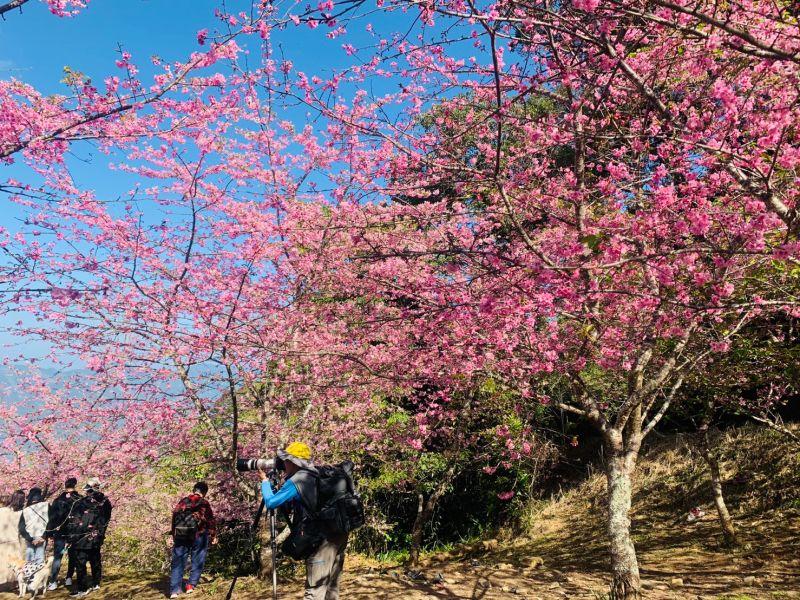 高雄旅遊新景點 桃源寶山櫻花爆炸性開花