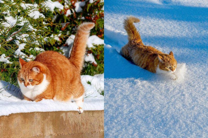 ▲萌萌大橘走雪路,胖胖身軀將雪全部擠開!(圖/Instagram@cute_ginger_cat)