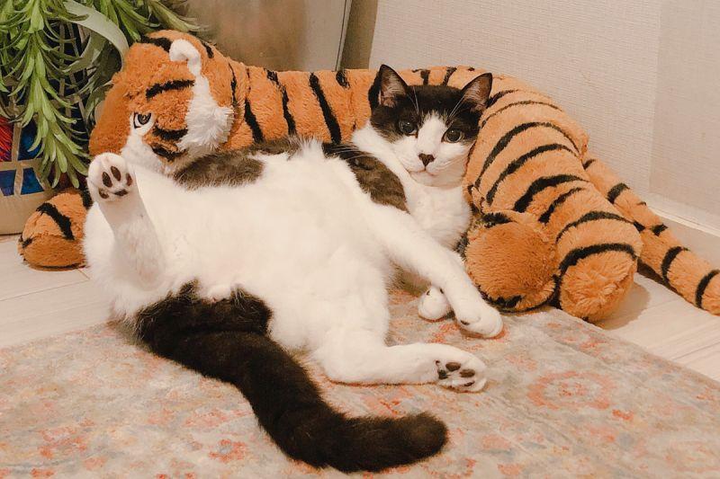 「軟爛貓」成天懶躺睡翻 主人笑:看來沒辦法回去當浪貓了!