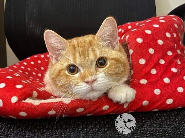 ▲「茉莉兒」是一隻可愛的短毛貓(圖/IG@didi7dog授權提供)