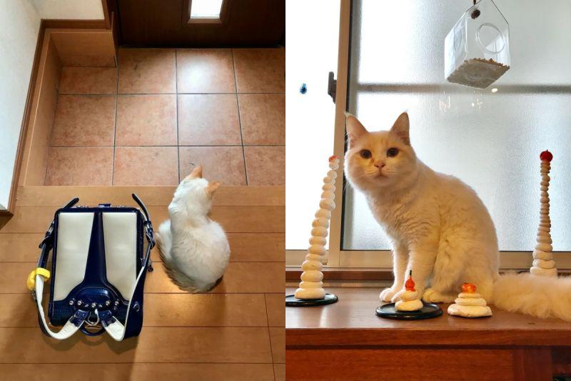小主人回家放書包又溜出門 白貓「哀怨窩門口」:摸摸呢?