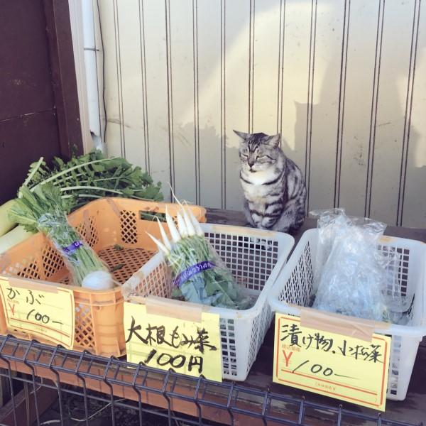 ▲日本一名女網友騎單車時,巧遇一隻貓咪正在顧菜攤(圖/twitter@YorumaniaTaekov)