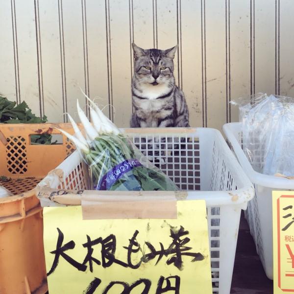 ▲雖然這位「貓老闆」認真端坐在菜籃前顧店,但是臉部表情似乎不太高興……(圖/twitter@YorumaniaTaekov)
