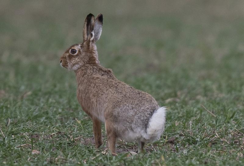 世衛武漢追查疫源 鎖定鼬獾、兔子疑將病毒傳人