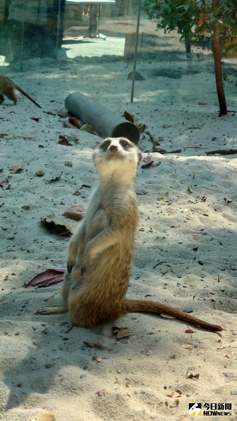 ▲壽山動物園到今年3月底都是免費入園,進入園區後就可以立即看到可愛的狐獴,十分吸睛。(圖/記者鄭婷襄攝,2020.02.20)