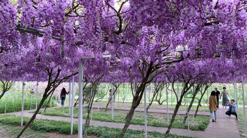 ▲極為浪漫的粉紫色紫藤花垂掛在半空中的美景,成為淡水春天超高人氣的景點之一。(圖/紫藤咖啡園(一店)(屯山園區)臉書)