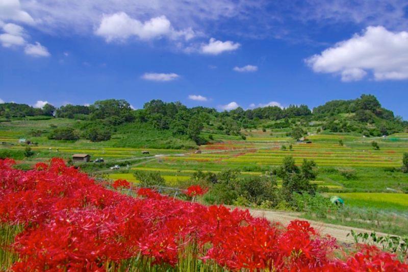 ▲稲渕梯田階梯式排列大大小小水田約有300塊,秋季周邊種植的彼岸花將與金黃稻穗相輝映。(圖/資料照片)