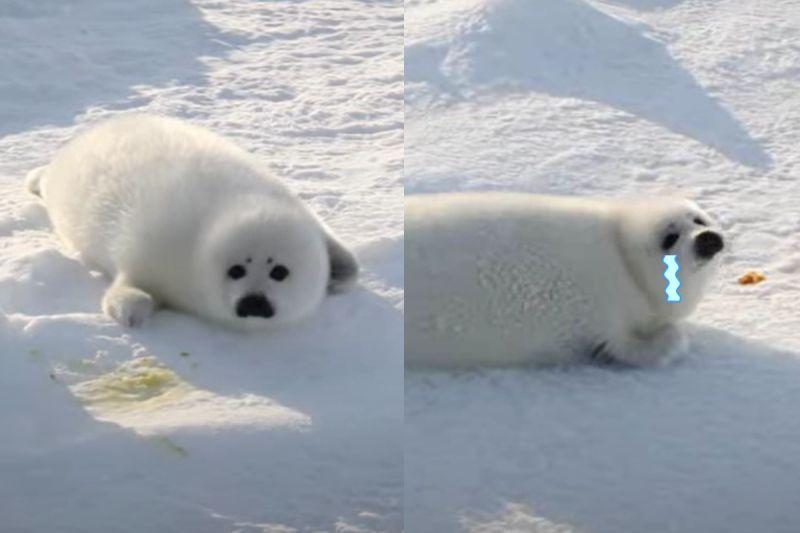 海豹寶寶雪中「焦急踏步」找媽媽 網笑:好像要哭哭惹!