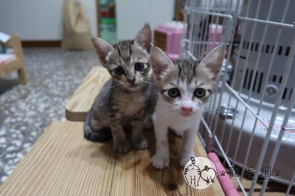 ▲「一萬」與妹妹是愛媽在萬華撿到的第一、二隻貓咪,因此取名「一萬」與「二萬」,白小姐看到照片後決定一起領養牠們(圖/粉專真愛訪琴與1、2萬授權提供)