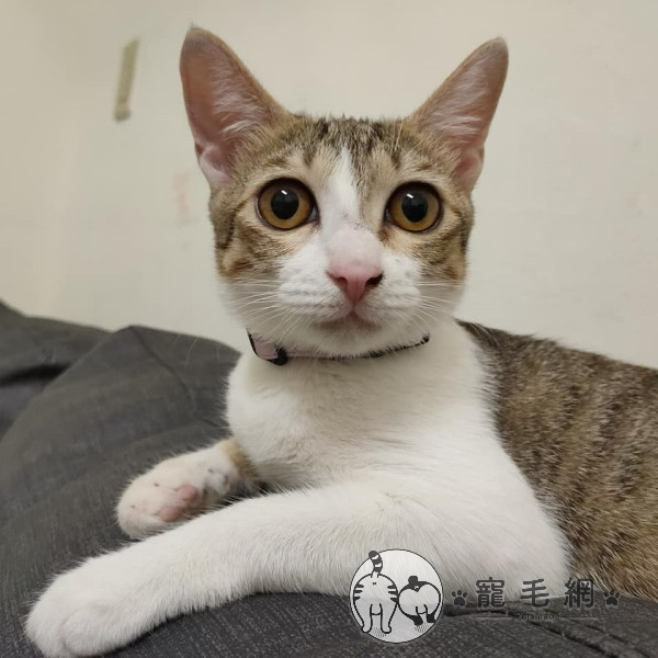 ▲「一萬」是一隻「出頭」很多的貓(圖/粉專真愛訪琴與1、2萬授權提供)