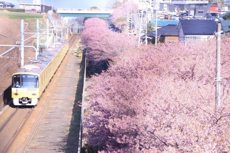 ▲日本網友拍攝電車駛過櫻花的絕美瞬間,但眼尖人士揪出一亮點,讓全場笑翻了。(圖/翻攝自@velous_93的推特)