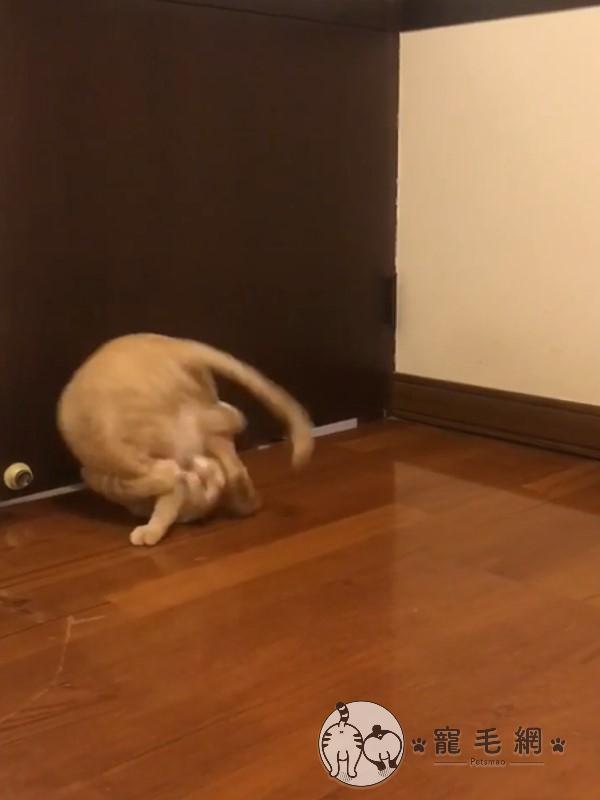 ▲日前胖虎隔著房門跟其他貓咪互逗,玩到一半突然抱著自己的雙腿「翻跟斗」(圖/網友劉蕙語授權提供)