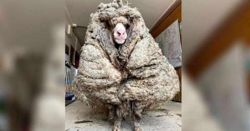 笑笑羊落跑五年從未剃毛!脫下35公斤羊毛後長這樣