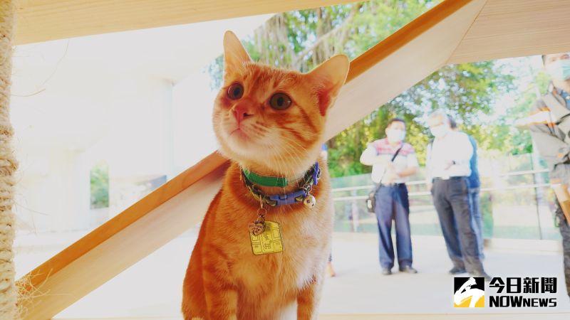 ▲全台最「年輕」的貓站長「蜜柑」超可愛。(圖/記者鄭婷襄攝,2021.02.25)