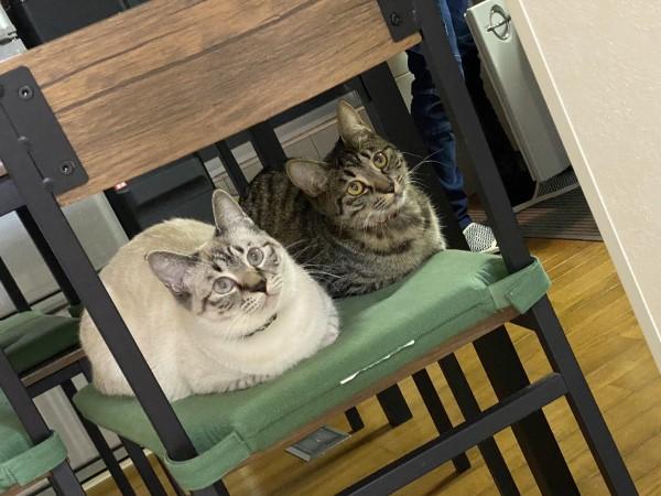 ▲這對「左右護法」分別是虎斑花色的「Pino」與白底虎斑「Moka」,兩隻貓咪感情很好,經常做什麼都在一起(圖/twitter@PinoMoka0323)