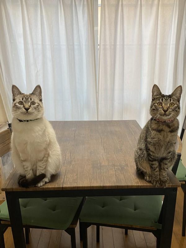 ▲日前推主回家時,一開門就看見Moka與Pino坐在桌子的兩側,睜大眼睛盯著自己,讓推主忍不住自嘲:「這是回家後的壓力!」(圖/twitter@PinoMoka0323)