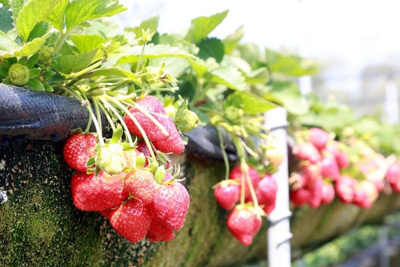 品嘗鮮甜草莓不用到大湖  來台南善化草莓季開跑囉