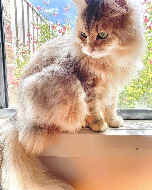 ▲這張好少女啊~(圖/Instagram@moscow_the_siberian_cat)