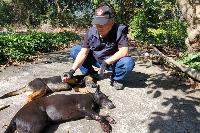兩隻狗卻只剩四條腿,高雄六龜山豬吊猖獗到救援團體救不完!(圖/台灣動物緊急救援小組)