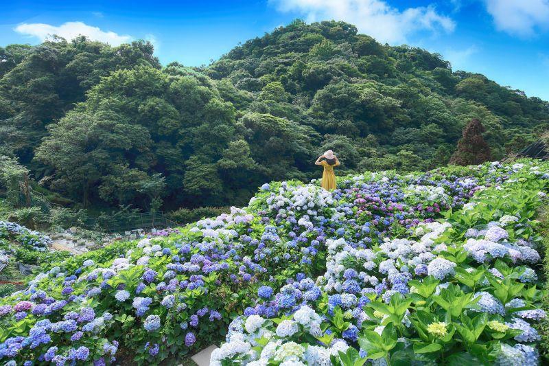竹子湖海芋、繡球花季 (圖|竹子湖海芋、繡球花季臉書)