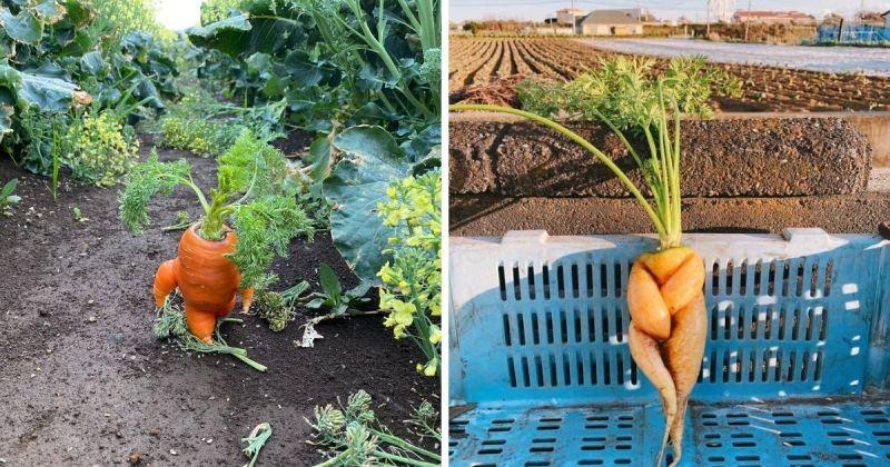▲農場主人發揮創意,為紅蘿蔔擺Pose,並加上文字敘述。(圖 @buromasa0423推特)