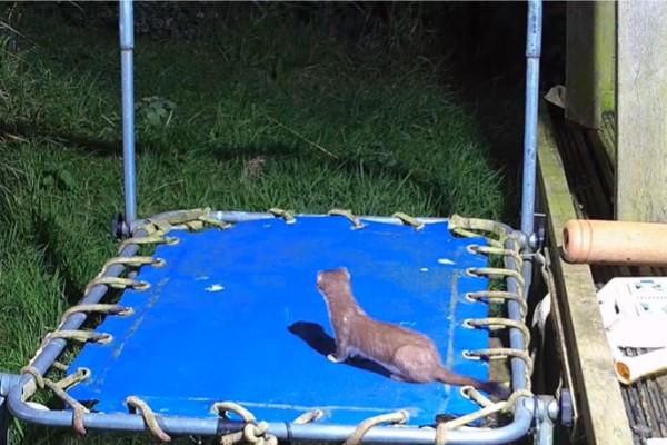 ▲某一天羅伯特錄到白鼬跑到彈跳床上嬉戲(圖/翻攝自YT@Robert