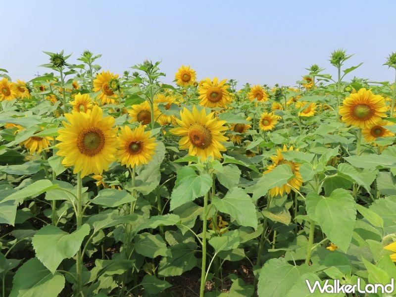 ▲台南擁有眾多賞花熱點