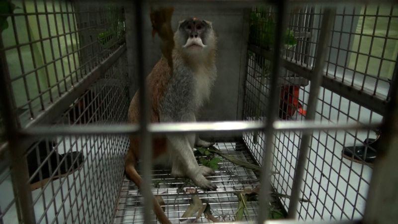 ▲獸醫師初步判定「男道」的精神狀況還不錯,只是有點緊張(圖/臺北市立動物園提供)