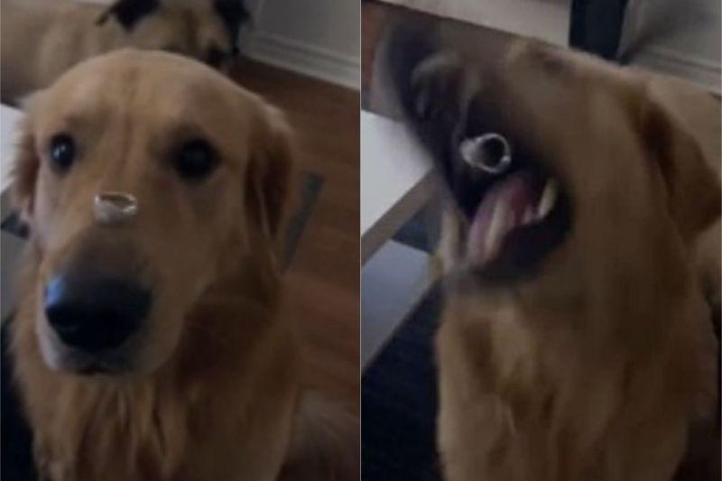 ▲狗狗聽到聲音,竟然就把張口把戒指吃了。(圖/翻攝自《