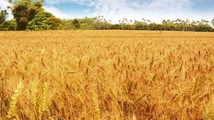 春遊大雅小麥之鄉  享受漫步金黃麥浪之旅